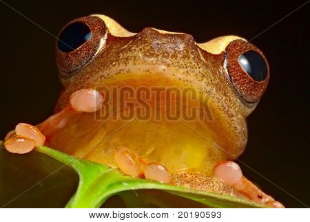 tree frog in Brazil tropical amazon rain forest beautiful night animal and endangered amphibian frog red eyed treefrog hiding behind green leaf hypsiboas triangularum macro