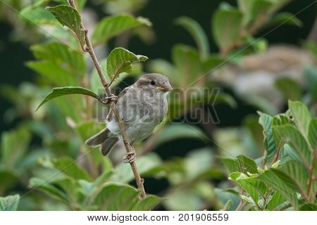 Passer domesticus on a branch beautiful bird nature