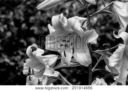 Black And White Blossoming Lilium Flower.
