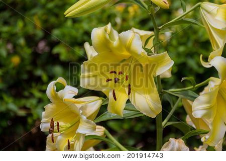 Blossoming Yellow Lilium Flower.