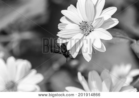 Bee On The Blossoming Doronikum Flowers. Black And White.