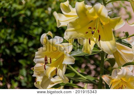 Blossoming yellow lilium flower. Lilium (members of which are true lilies) is a genus of herbaceous flowering plants growing from bulbs all with large prominent flowers.