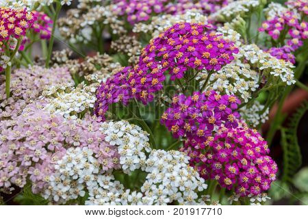 Blossoming Yarrow Flowers.
