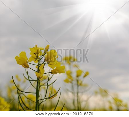 Field of yellow flowering oilseed rape in spring time Close up of blooming canola rapeseed plant landscape