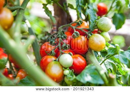 Close up picture of ripe delicious tomatoes cultivated in the garden ready to harvest
