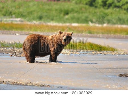 Kodiak grizzly bear looking at us from the beach