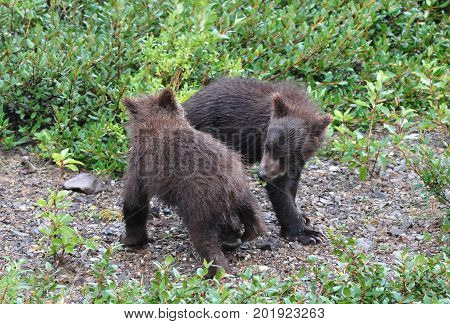 Juvenile brown bear twins in Alaska, playing in the rain
