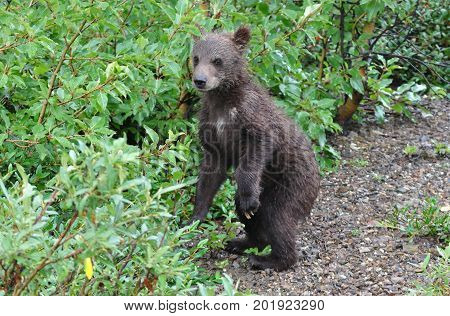 Grizzly bear cub on its hind legs