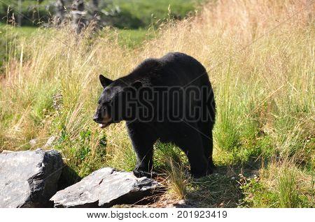 Black bear in an Alaskan wildlife refuge