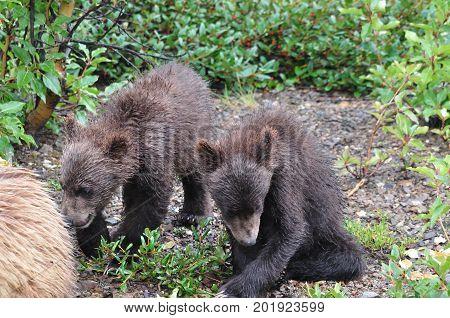 Juvenile brown bear twins in Alaska, wet from the rain