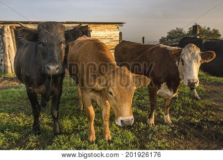 cattle limusiine meat calves and young cows in the yard