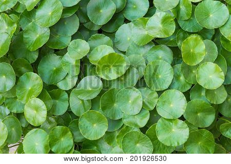 Green nature pattern background of rounded leaf plant (Hydrocotyle Umbellata or Water Pennywort) nature background