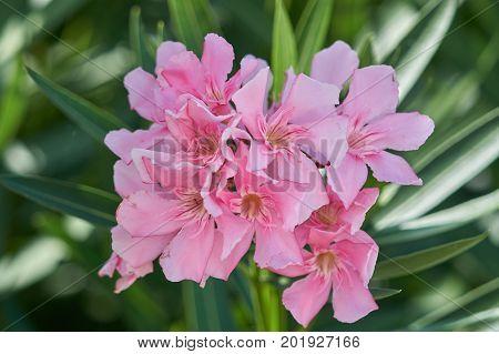 Pink Oleander In The Garden