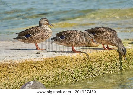 three cute duck on rock at lake