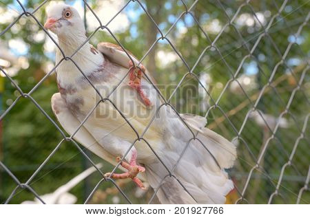 Purebred dove white pigeon on fence