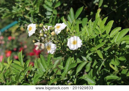 White Rose Briar