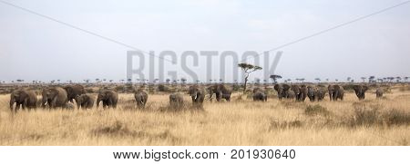 Large herd of elephants walking through the characteristic red oat grass of the Masai Mara, Kenya, Africa. Popular social media banner proportions.