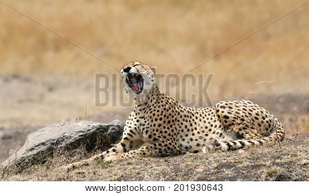 Yawning young adult cheetah stretched out in the afternoon sun of the Masai Mara, Kenya.