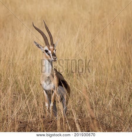 An adult Thomson's Gazelle, known locally as a Tommie, in the Masai Mara, Kenya.