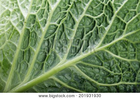 a leaf of a Savoy cabbage close-up the leaf texture is clearly visible