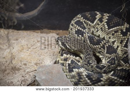 Close up of an Eastern diamondback (Crotalus adamanteus)