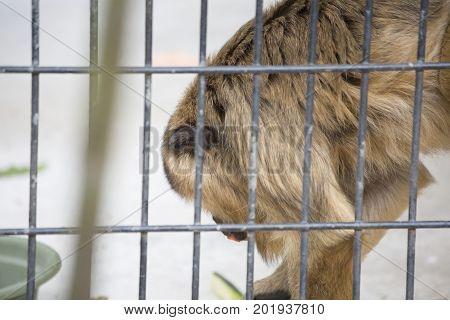 Female Howler Monkey