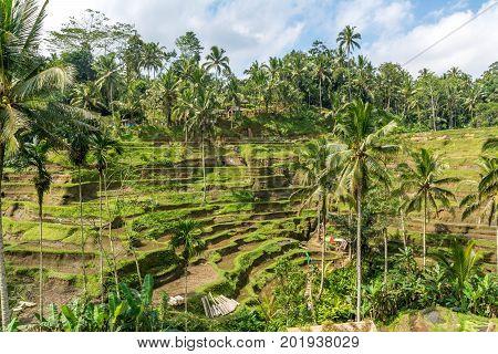 Rice terraces in Tegallalang, Ubud, Bali, Indonesia Asia, Bali, Crop, Farm, Field