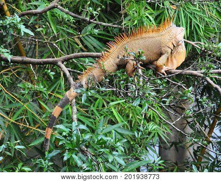 A large wild iguana in tree walking slowly away