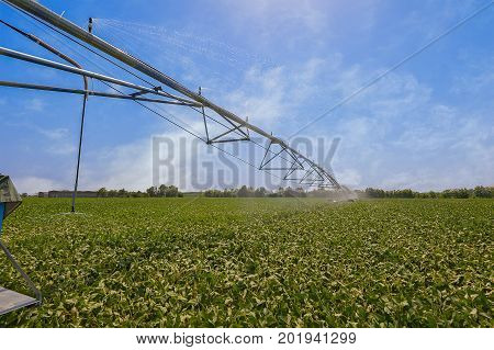 Soybean field irrigated by a pivot sprinkler systeem. Crop Irrigation using the center pivot sprinkler system