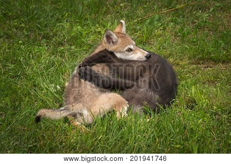 Grey Wolf Pups (Canis lupus) in Clench - captive animals