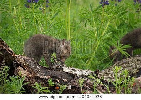 Red Fox (Vulpes vulpes) Kits Clamber Across Log - captive animals