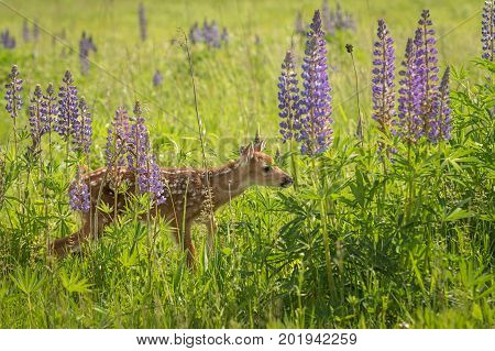White-Tailed Deer Fawn (Odocoileus virginianus) Steps Right Through Lupin - captive animal
