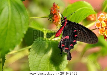 A pretty Common Rose butterfly lands in them gardens for a nectar lunch.