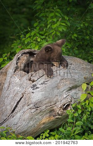 Black Bear Cub (Ursus americanus) Sniffs at Log - captive animal