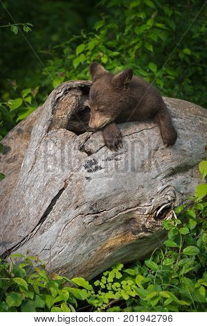 Black Bear Cub (Ursus americanus) Rests In Log - captive animal
