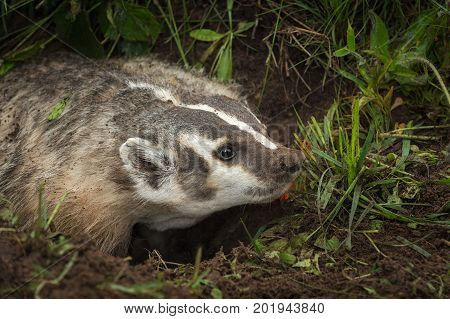 North American Badger (Taxidea taxus) Stares Right - captive animal