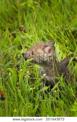 Red Fox (Vulpes vulpes) Kit in the Grass - captive animal