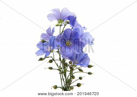 Flax flowers agriculture isolated on white background