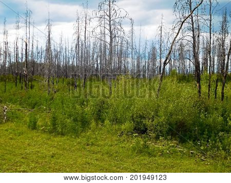 New tree regrowth after a forest fire.