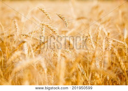 Picture of wheat field in summer afternoon