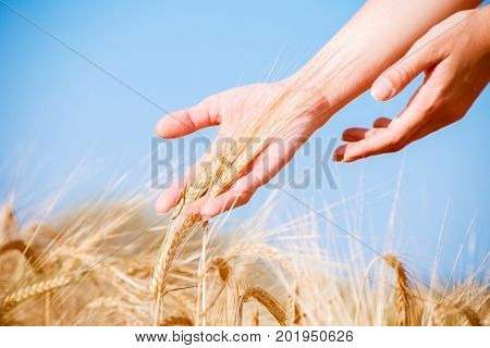 Image of man's hands with rye spikelets