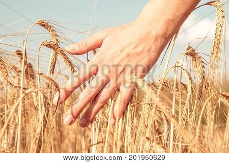 Photo of man's hand and rye spikelets