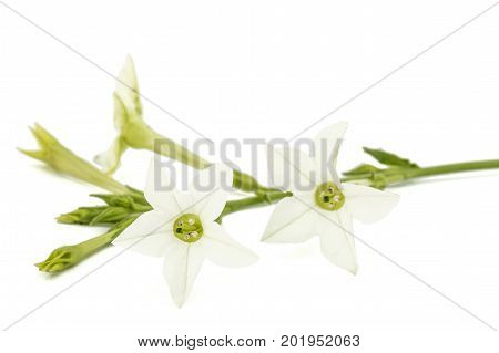 Flower Of Fragrant Tobacco, Lat. Nicotiana Sanderae, Isolated On White Background