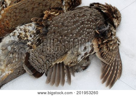 A Pile of Wild Grouse after Hunt
