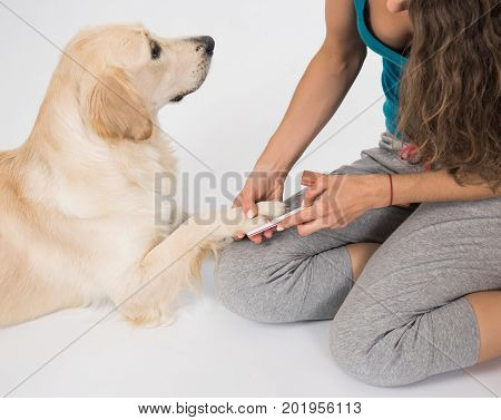 Happy dog golden retriever on manicure with a nail file on white background. Trimming claws. Manicure and pedicure grooming dog golden retriever