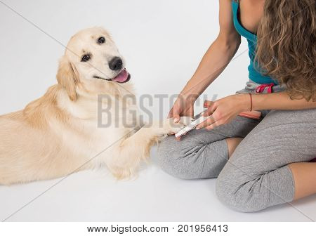 Happy dog golden retriever on manicure with a nail file on white background. Trimming claws. happy golden retriever dog. Manicure and pedicure grooming dog golden retriever