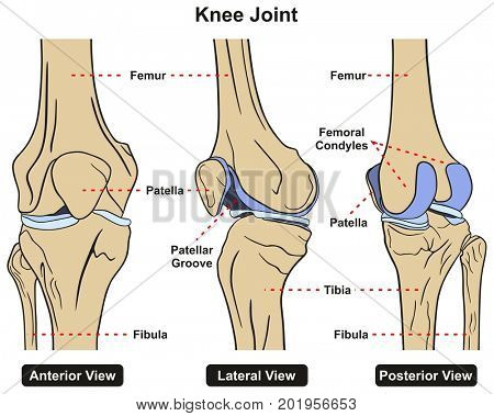 Knee Joint of Human Body Anatomy infographic diagram including anterior lateral and posterior view with all bones femur tibia fibula and patella for medical science education and healthcare