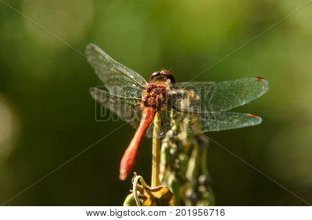 Close-up of orange dragonfly sitting on stalk. Orange dragonfly with transparent wings. Insect orange dragonfly sitting on green leaf, close-up, macro. Summer, autumn landscape. Big orange dragonfly.