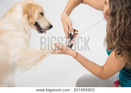 Young woman cutting dog nail with specialty tool on white background. Trimming claws. Manicure and pedicure grooming dog golden retriever
