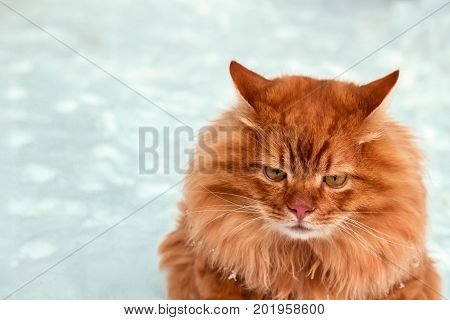 Red headed angry cat sitting on snow winter scene